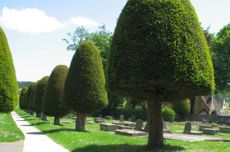 Yew trees in Painswick churchyard